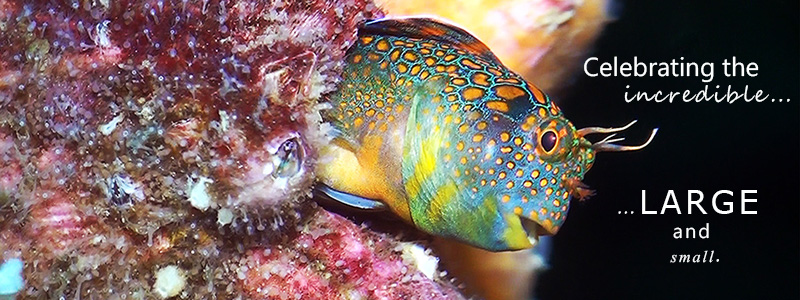 Tesselated Blenny